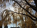 2015-12-08 12 27 26 Weeping Willow with autumn foliage along Woodland Park Road in McNair, Fairfax County, Virginia.jpg