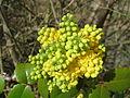 20150401Mahonia aquifolium.jpg
