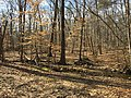 2016-02-08 11 27 47 Tributary streams of Difficult Run in the forest along the Gerry Connolly Cross County Trail between Miller Heights Road and Jermantown Road in Oakton, Fairfax County, Virginia.jpg