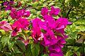 2016-04-03 Flower at the Singapore Botanic Gardens 02.jpg