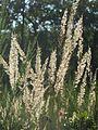 20160929Calamagrostis epigejos3.jpg