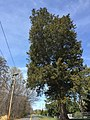 2017-04-05 13 22 52 Large Eastern Red Cedar along Thompson Road (Virginia State Secondary Route 669) between Golden Meadow Court and Belle Cote Lane in Oak Hill, Fairfax County, Virginia.jpg