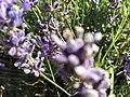 2017-07-02 Lavender 06.jpg
