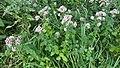 2017-08-01 (19) Origanum vulgare (Oregano) at Haltgraben in Frankenfels.jpg