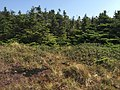 2017-09-11 13 00 35 Spruce-fir forest along the Long Trail between the Nose and the Chin of Mount Mansfield within Mount Mansfield State Forest in Stowe, Lamoille County, Vermont.jpg