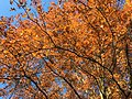 2017-11-24 14 09 31 View up into the canopy of a Pin Oak in late autumn along Thorngate Court in the Franklin Farm section of Oak Hill, Fairfax County, Virginia.jpg