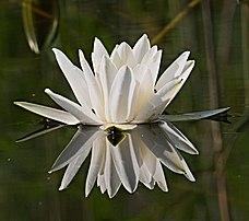 Fleur de nénuphar blanc. (définition réelle 3684×3266)