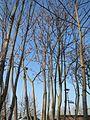 20170123Ailanthus altissima5.jpg