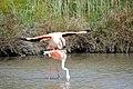 20170425 139 Camargue Flamingo (33654159553).jpg