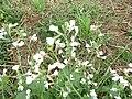 2018-09-12 Unidentified Flower, Trimingham (1).JPG