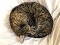 2020-04-02 02 46 48 A tabby cat sleeping on a couch in the Franklin Farm section of Oak Hill, Fairfax County, Virginia.jpg