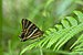 Lethe baladeva - Photo (c) Ramwik,  זכויות יוצרים חלקיות (CC BY-SA)