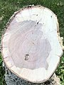 2021-06-17 19 45 27 The stump of a recently deceased Flowering Dogwood along Terrace Boulevard in the Parkway Village section of Ewing Township, Mercer County, New Jersey.jpg