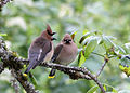 219 cedar waxwing swingle odfw (5881409949).jpg