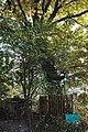 26-204-5018 Дуб звичайний, Богородчани.jpg