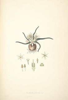 28 Ornithogalum fimbriatum - John Lindley - Collectanea botanica (1821).jpg