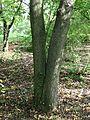 3558-Eucommia ulmoides-Arb.Brno-9.12.JPG