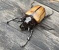 5 horned rhino beetle.jpg