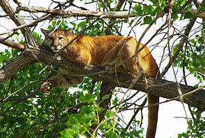 Acinonychini - Cougar (Puma concolor)