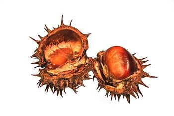 Aésculus hippocástanum 4.jpg