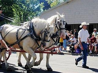 American Cream Draft American draft horse breed