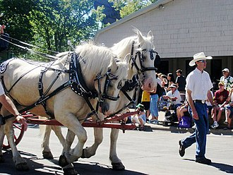 American Cream Draft - American Cream Draft Horses in Minnesota State Fair Parade