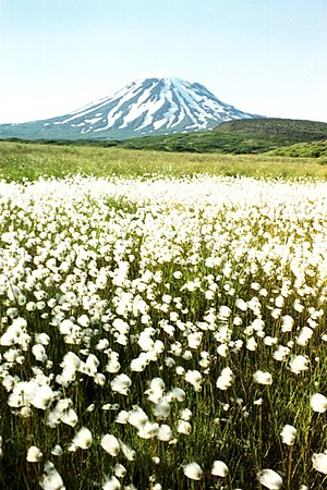 Alaska Peninsula - Peulik Volcano and cottongrass meadow