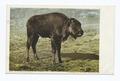 A Buffalo Bull Calf, Yellowstone Ntl. Park, Wyo (NYPL b12647398-68038).tiff