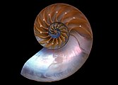 A Nautilus macromphalus shell inside.jpg