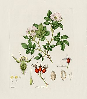 Fanny Blood - A Plate from Flora Londinensis