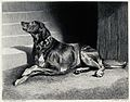 A bloodhound with a heavy collar is sitting next to a stairc Wellcome V0020845.jpg