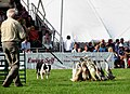 A day at the Aylsham Show - sheepdog at work - geograph.org.uk - 937112.jpg