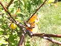 A locust on a plum tree (9185143129).jpg