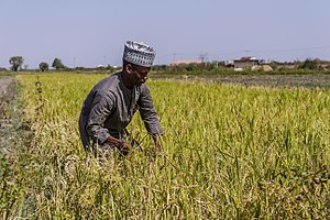 Agriculture in Nigeria - Paddy field in Nigeria