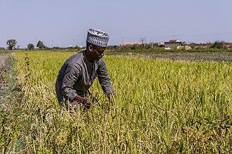 Agriculture in Nigeria - Paddy field in Nigeria