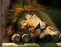 A sleeping lion head.jpg