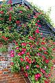 A trained red rose, Mashbury, Essex, England 02.JPG
