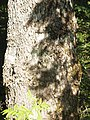 Abies alba Bijela gora Montenegro bark.JPG