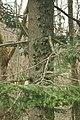 Abies alba PID1015-2.jpg