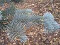 Abies lasiocarpa argentea zampach1.JPG