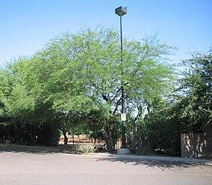 Senegalia berlandieri - Image: Acacia berlandieri habit