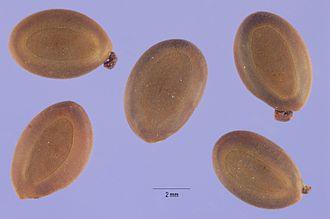 Acacia confusa - Acacia confusa seeds