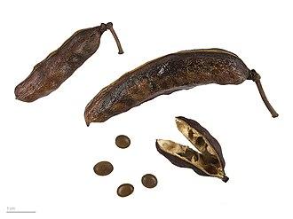 Vachellia farnesiana - Image: Acacia farnesiana MHNT.BOT.2015.2.54