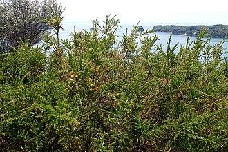 Acacia paradoxa - Acacia paradoxa habit