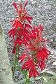 Acadia National Park, cardinal flower (Lobelia cardinalis).jpg