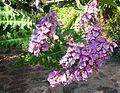 Acanthus pubescens, bloeiwyse, Jan Celliers Park, a.jpg
