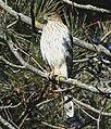 Accipiter cooperii Humber Bay Toronto2.jpg