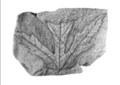 Acer chaneyi holotype.png