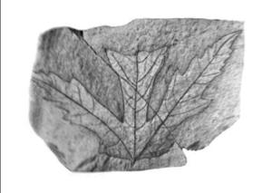 Acer chaneyi - A. chaneyi (holotype), University of California Museum of Paleontology, Berkeley, CA.