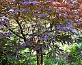Acer palmatum 'Sumi-nagashi' 02.jpg